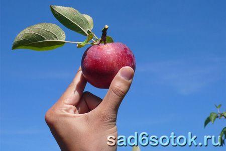Як і коли збирати врожай яблук