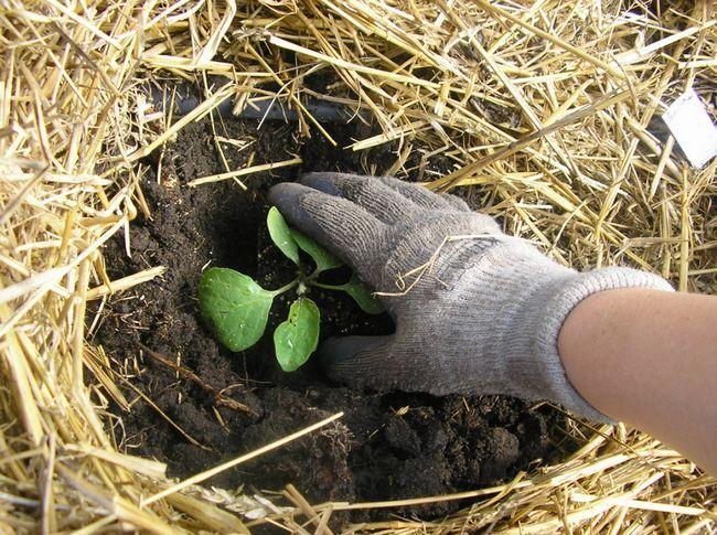 Як правильно пересадити рослину?