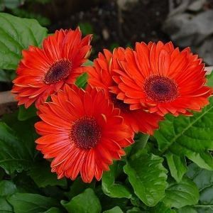 опис квітки