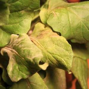 Хвороби і шкідники загрожують рослині