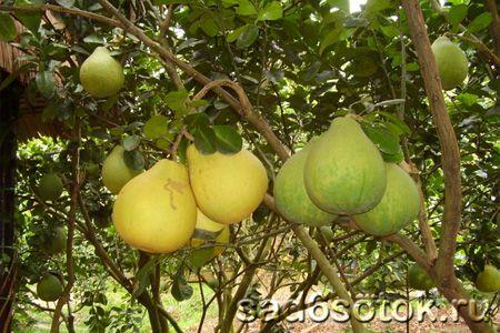 Як розсадити плодові дерева