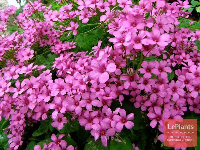 Кислиця рожева