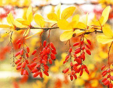 Лікувальні властивості барбарису, рецепти настоїв коріння і листя