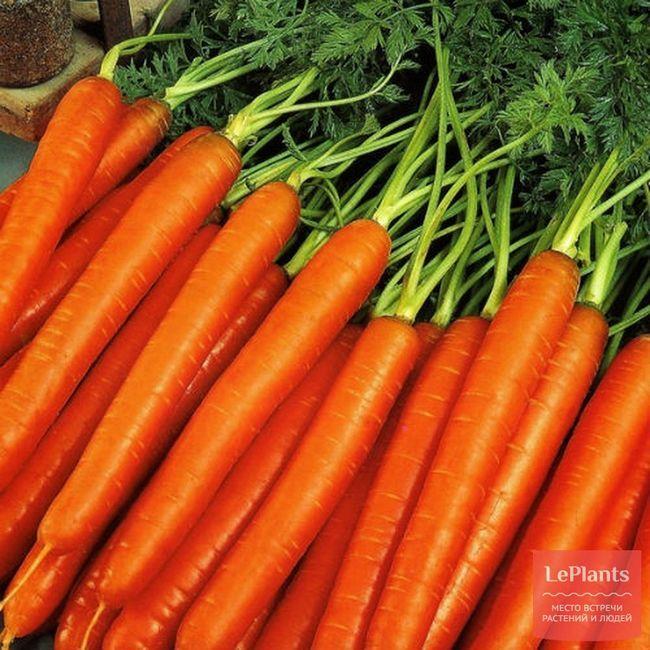 Морква посівна `нантская 4`