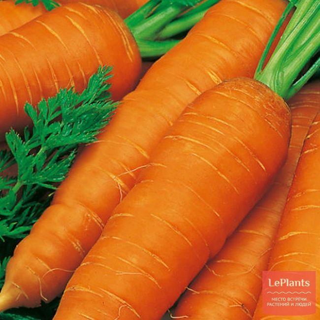 Морква посівна `вітамінна 6`