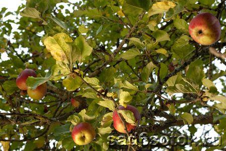Чому засихають яблуні і груші