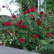Способи розмноження троянд