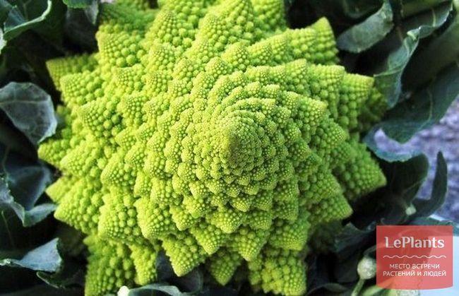 Романеско (романська брокколі, коралова капуста)