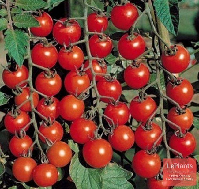 Томат черрі `вишня червона`