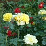 Добриво квітучих багаторічників