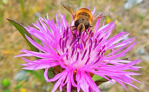Бджоли люблять волошка луговий